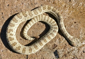 Schlangenleder