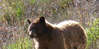 Bärenjagd in Nordamerika