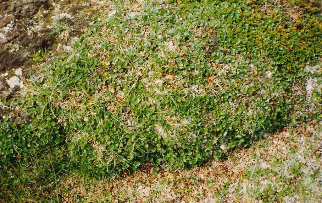 Wildren Rangifer tarandus